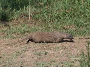 Egyptian mongoose  (Herpestes ichneumon)