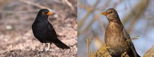 Common blackbird(Turdus merula)