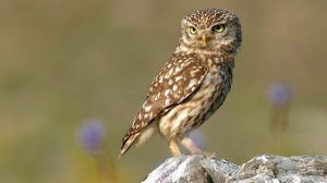 Little owl(Athene noctua)