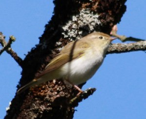Western Bonelli's warbler(Phylloscopus Bonelli)