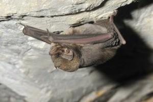 Common bent-wing bat  (Miniopterus schreibersii)