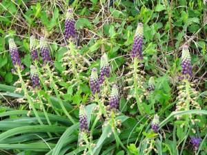 Grape hyacinth(Muscari neglectum)