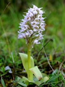 Three-toothed orchid   (Neotinea tridentata subsp. conica)