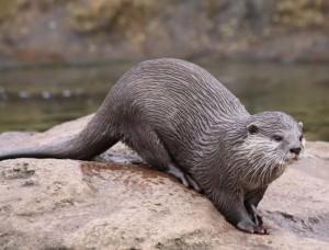 Eurasian otter(Lutra lutra)