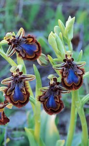 Mirror Orchid     (Ophrys speculum subsp. speculum)