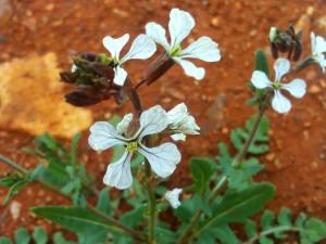 Eruca vesicaria, rocket (Eruca vesicaria)