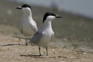 Gull-billed tern(Gelochelidon nilotica)