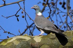 Common wood pigeon(Columba palumbus)
