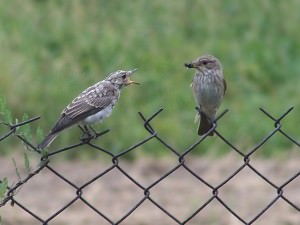 Spotted flycatcher(Muscicapa striata)