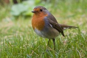 European robin(Erithacus rubecula)