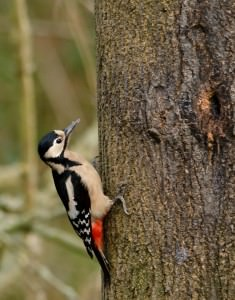 Great spotted woodpecker(Dendrocopos major)