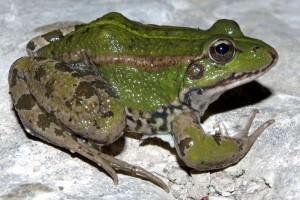 Perez's frog(Pelophylax perezi)