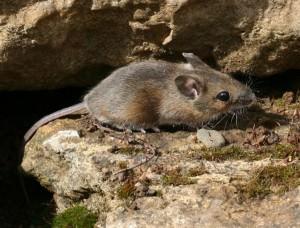 Wood mouse(Apodemus sylvaticus)