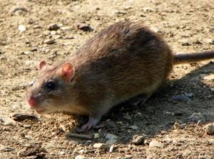 Brown rat(Rattus norvegicus)