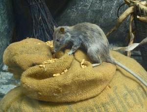 Rats(Rattus rattus)