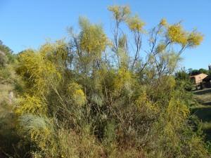 Broom(Retama sphaerocarpa)