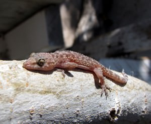 Mediterranean house gecko(Hemidactylus turcicus)