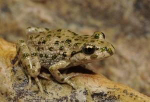 Iberian parsley frog(Pelodytes ibericus)