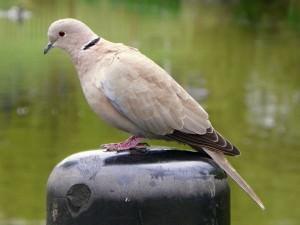 Eurasian collared dove(Streptopelia decaocto)