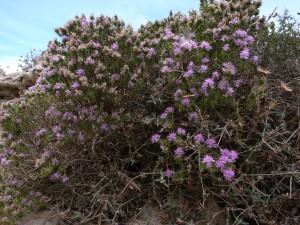 Andalusia Thyme    (Thymbra capitata)