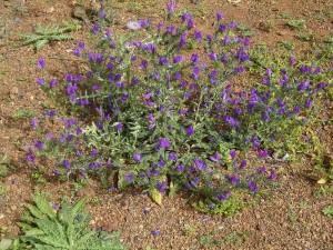 Echium plantagineum(Echium plantagineum)