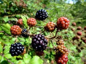 Blackberry                  (Rubus ulmifolius)
