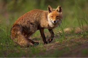 Red fox(Vulpes vulpes)